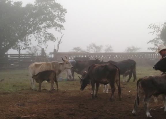 Talpa cows in fog Raul